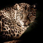 Tablou Leopard .